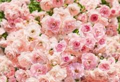 8-937 Rosa